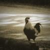 Oldchicken